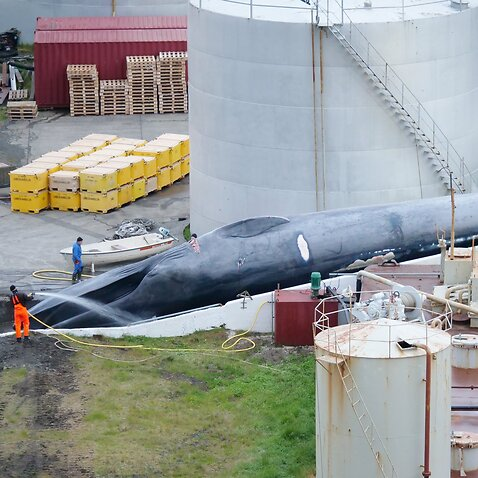 Whale killed in Iceland