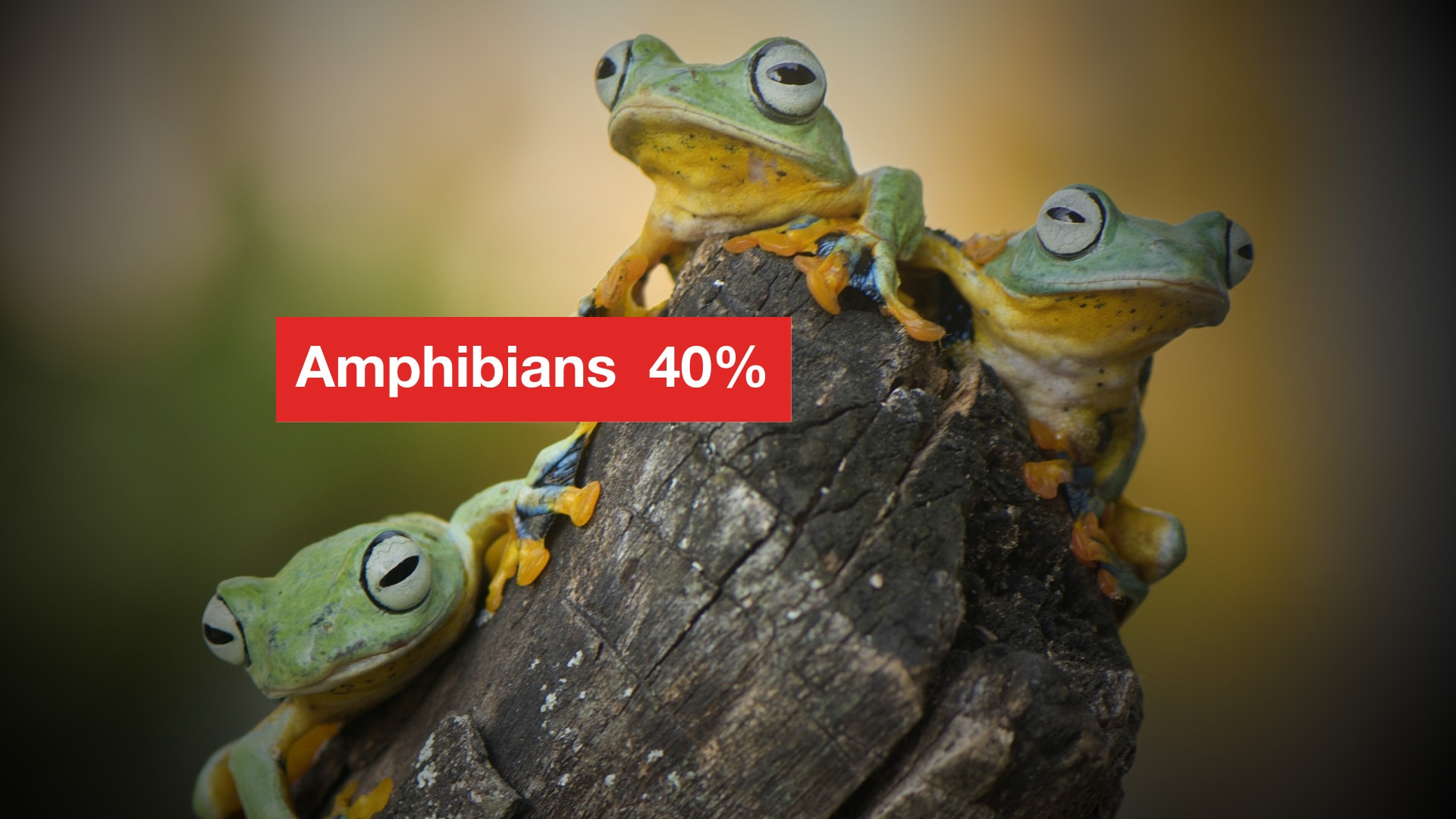 40 per cent of amphibians are threatened with extinction.