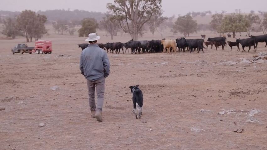man walks with dog in Orange, NSW with cows in the background