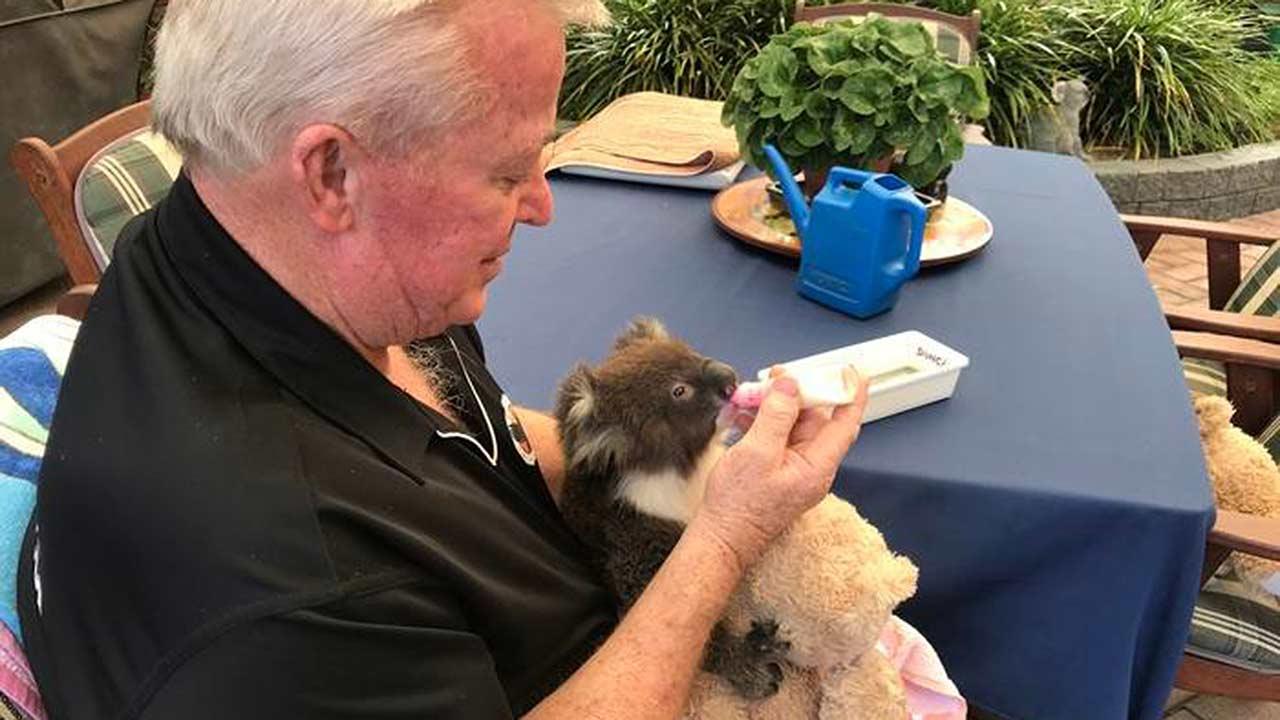 Wildlife carer Hartley Head feeds a rescued orphan koala.