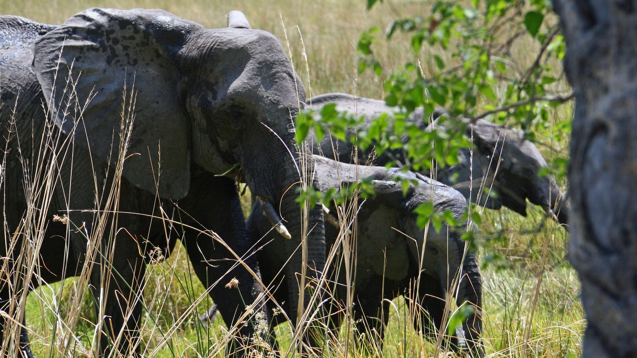 Botswana has the largest elephant population in Africa, with more than 135,000 roaming freely in its unfenced parks and wide open spaces.