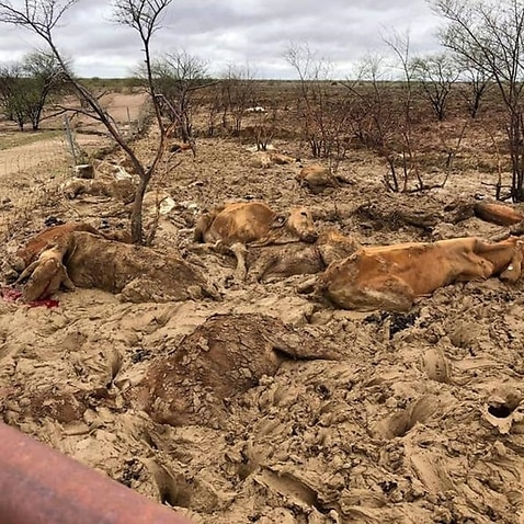 Flooding in north and western Queensland is believed to have killed around 500,000 cattle.