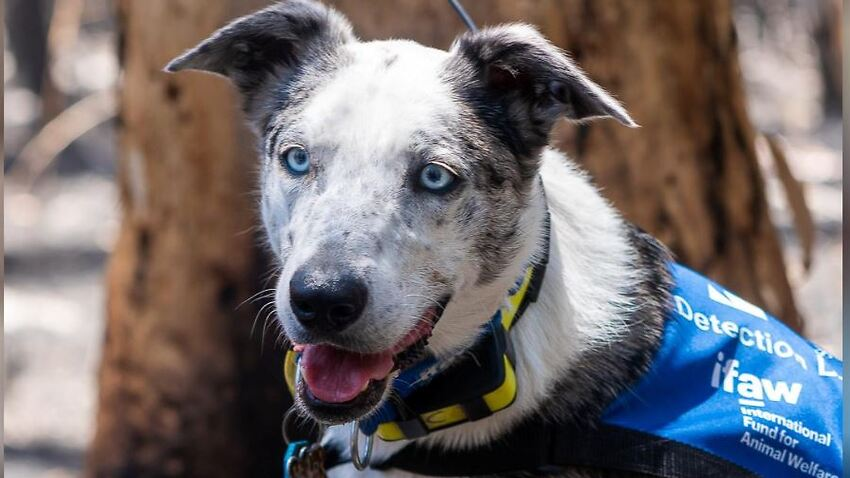 Bear, a cattle dog cross assists finding and saving koalas injured in the recent bushfires.