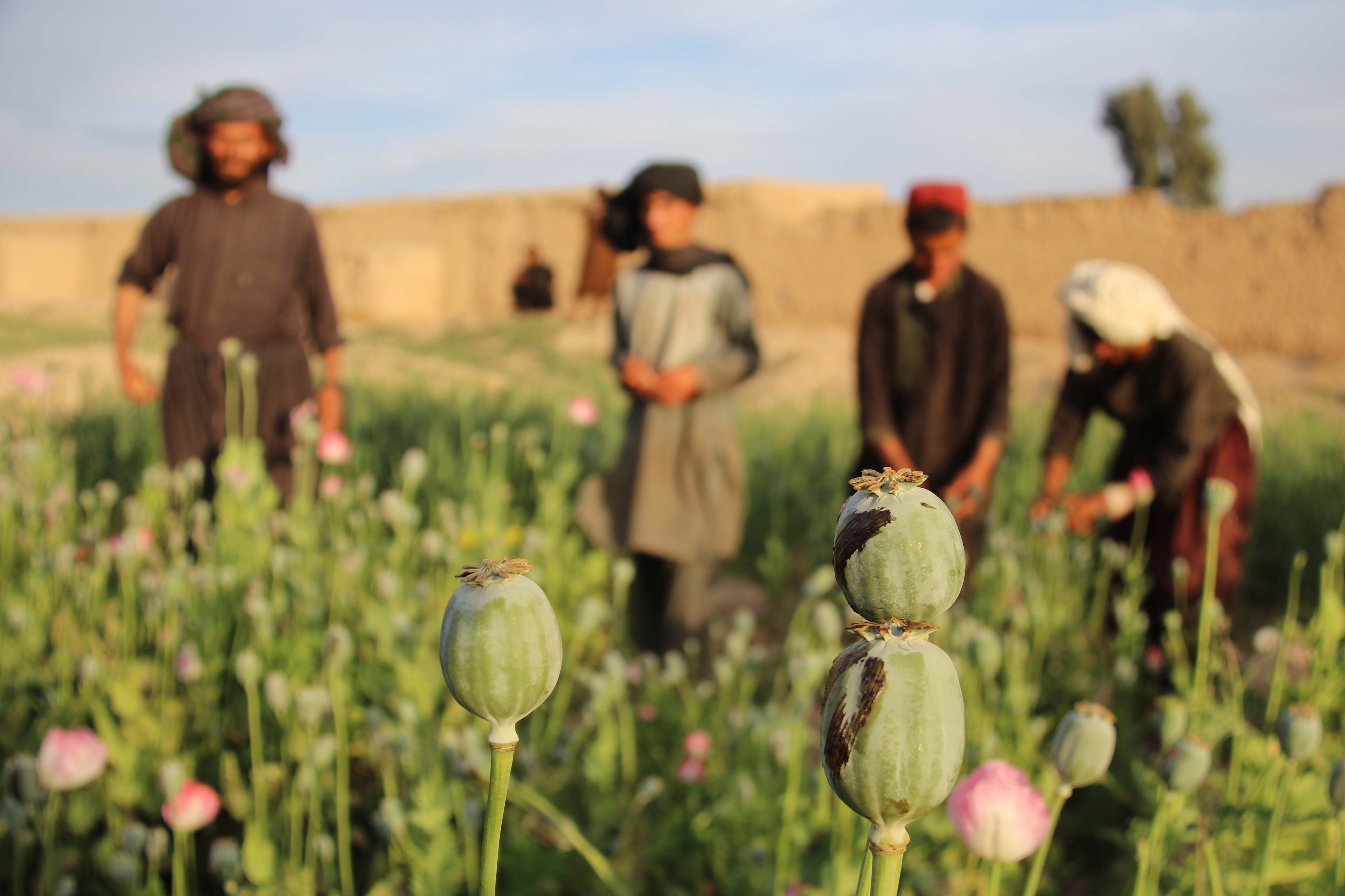 According to reports, opium production in Afghanistan grew by 87 percent in last two years.