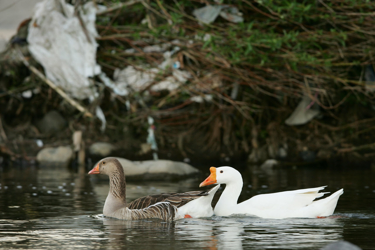 Geese swim past some of the many thousands of one-use plastic bags left hanging on trees year-round in the Los Angeles River channel.