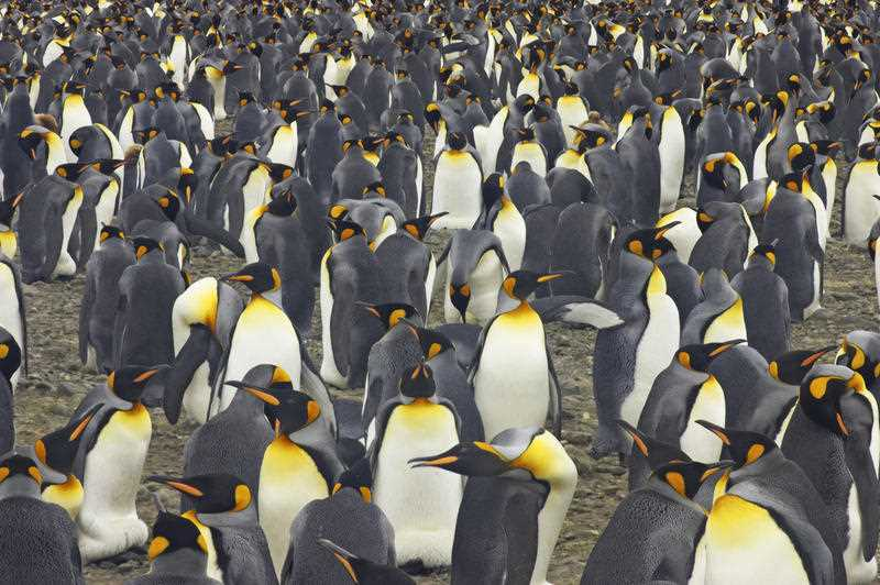 World's largest king penguin colony has shrunk by almost 90 per cent