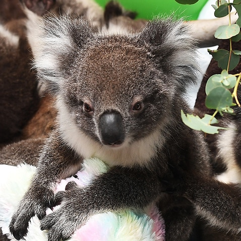 Rescued orphaned baby koals at Adelaide Koala Rescue.