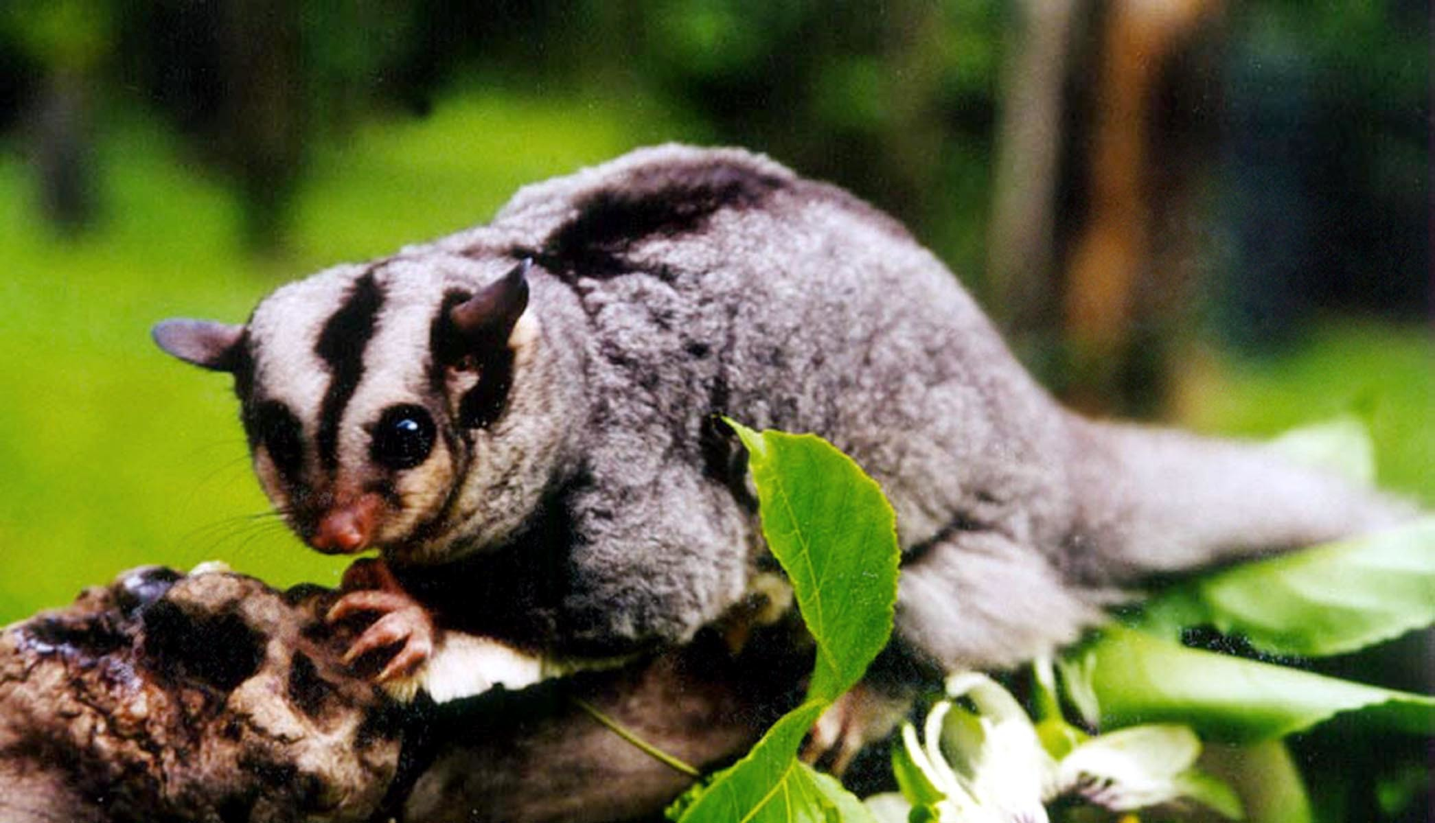 The endangered mahogany glider.