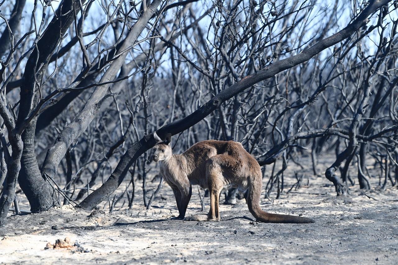 A kangaroo is seen at the Flinders Chase National Park during bushfires on Kangaroo Island.