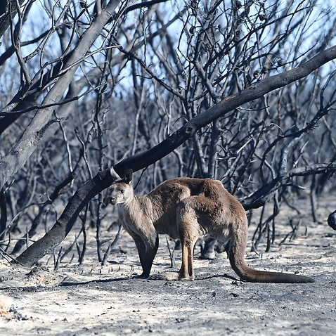 A kangaroo is seen at the Flinders Chase National Park during bushfires on Kangaroo Island.