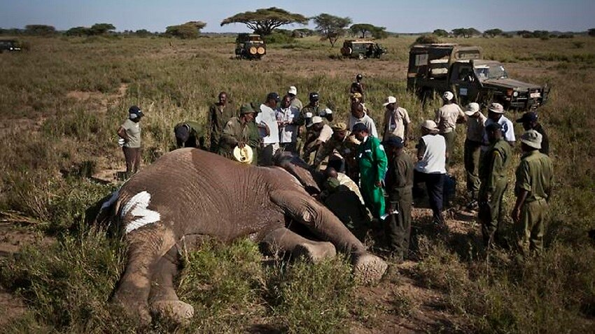 A team of rangers with a slaughtered elephant in Africa.