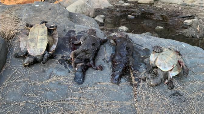 Climate Change Pushing Australia's Platypus Towards Extinction