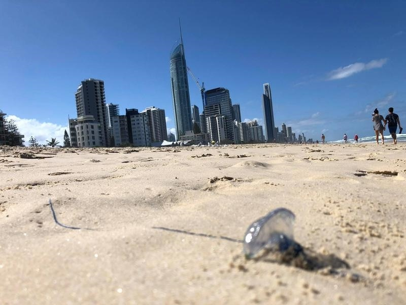 A bluebottle jellyfish washed-up on Surfer's Paradise beach