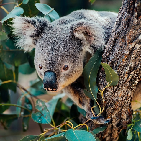 A draft strategy identifies more than 570,000 hectares of land where the Queensland government will limit land clearing to protect koala habit.