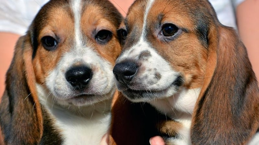 Victoria stamps out puppy farms