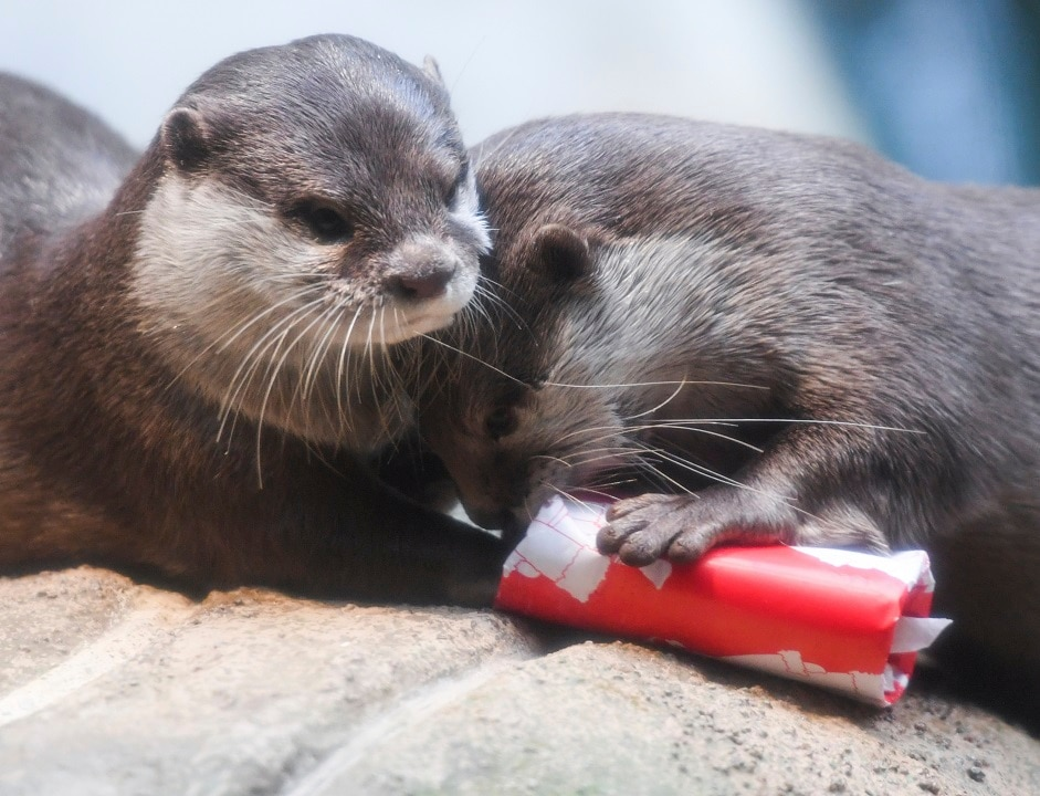 Social media platforms have made it easier to purchase exotic pets like otters.