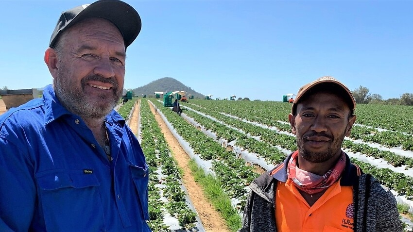 Australia's strawberry farmers are crying out for more seasonal workers