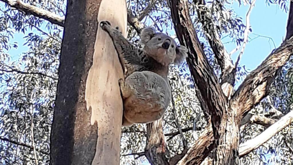 A koala spotted by Yarramalong Valley local Mark Davis