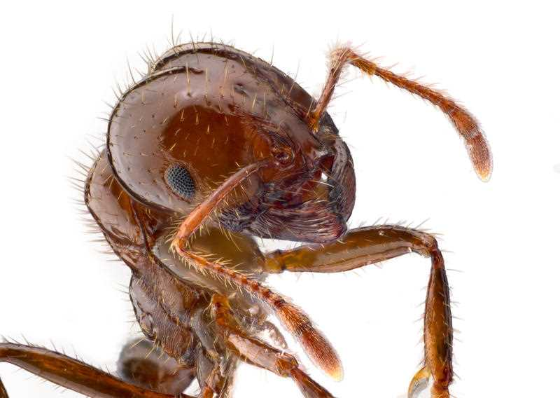 Watch out: the budget has allocated millions to eradicating the Red Imported Fire Ant.