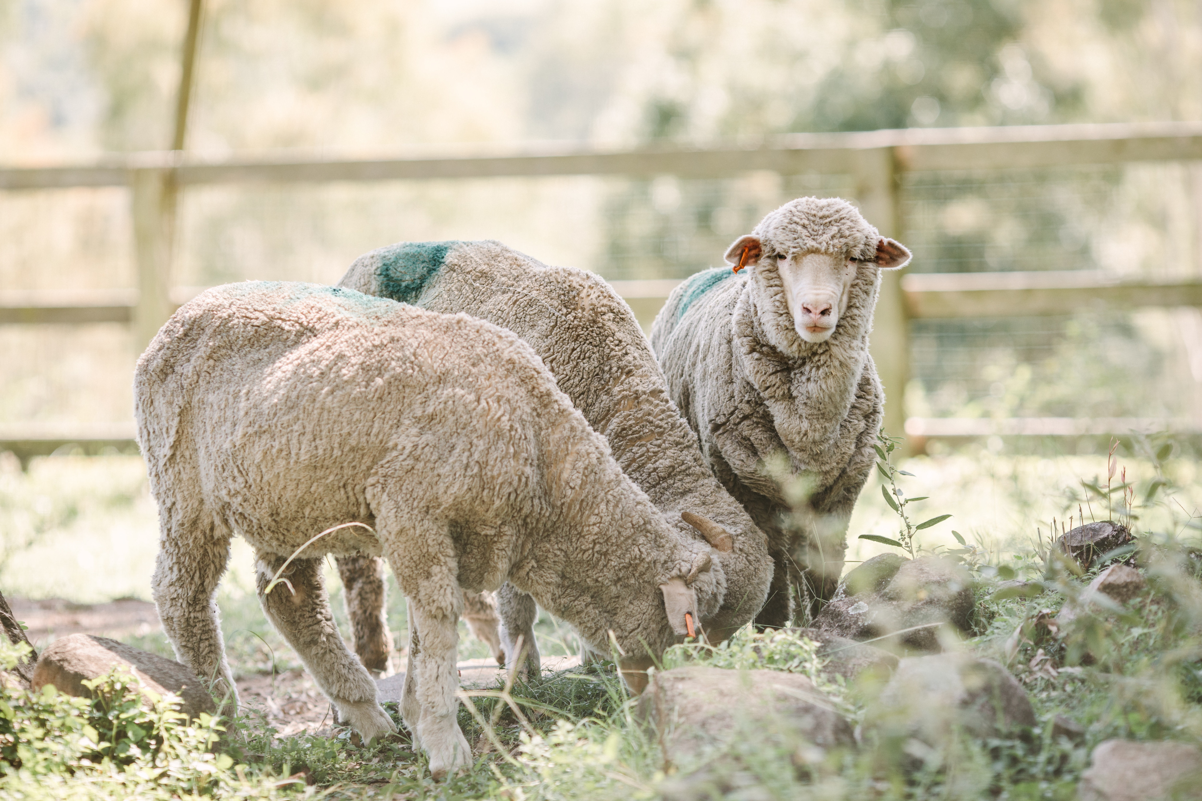 Three sheep that were rescued by protesters from a Queensland abattoir being cared for at a sanctuary at Dayboro, north of Brisbane.