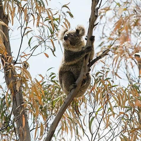 Koala habits destroyed by the bushfire season