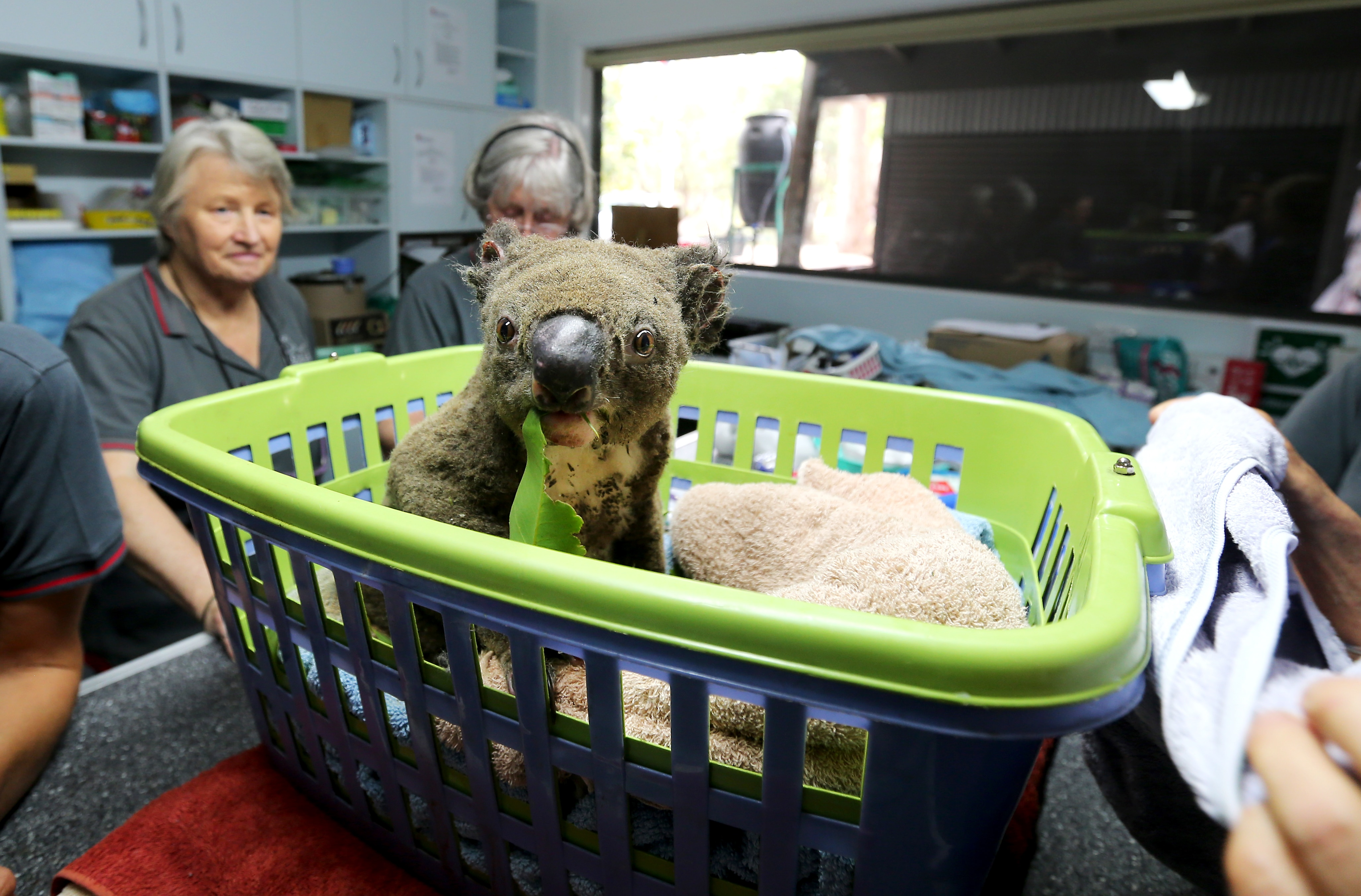 Paul the koala in the ICU recovering from burns at the Port Macquarie Koala Hospital, which has recieved more than $3.7 million in GoFundMe donations.