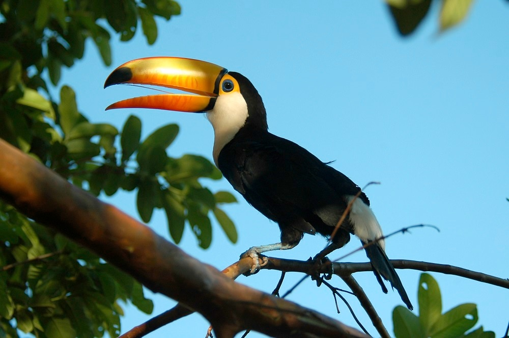 Undated handout photo issued by WWF of Toco Toucan in Bolivian Pantanal, Bolivia.
