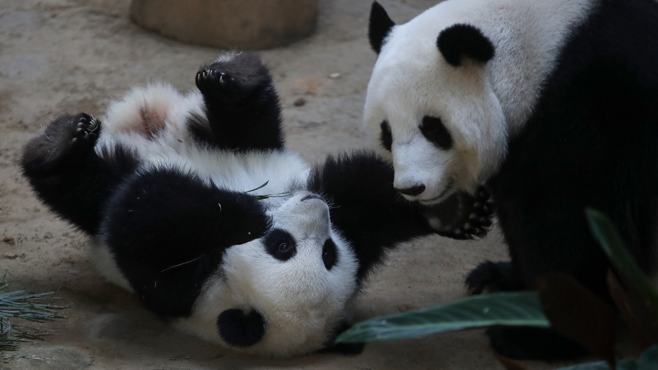 The baby panda being tickled by her mother Liang Liang during her birthday celebration.