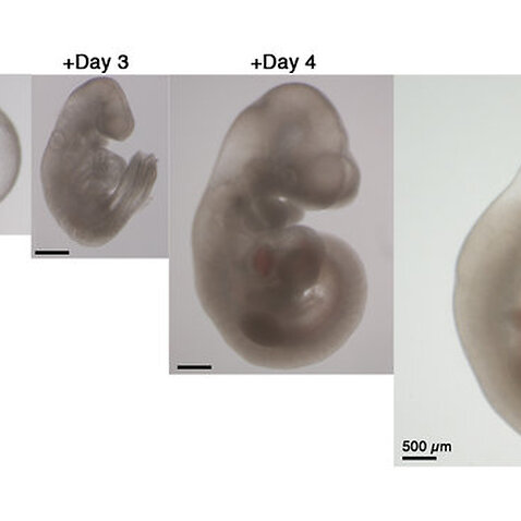 Scientists Grow Mouse Embryos in a Mechanical Womb