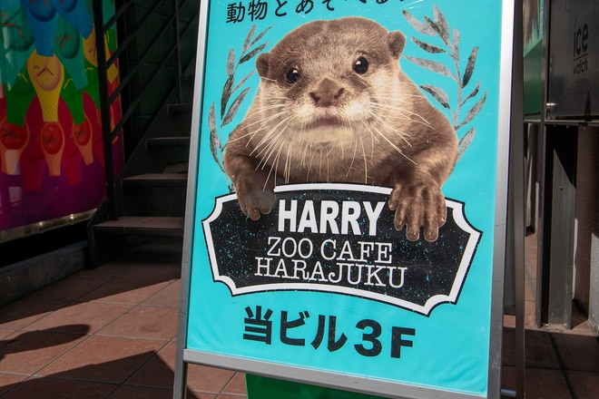 Otter cafes have become popular in Japan.