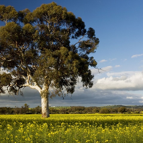 Canola - in flower, with eucalyptus tree