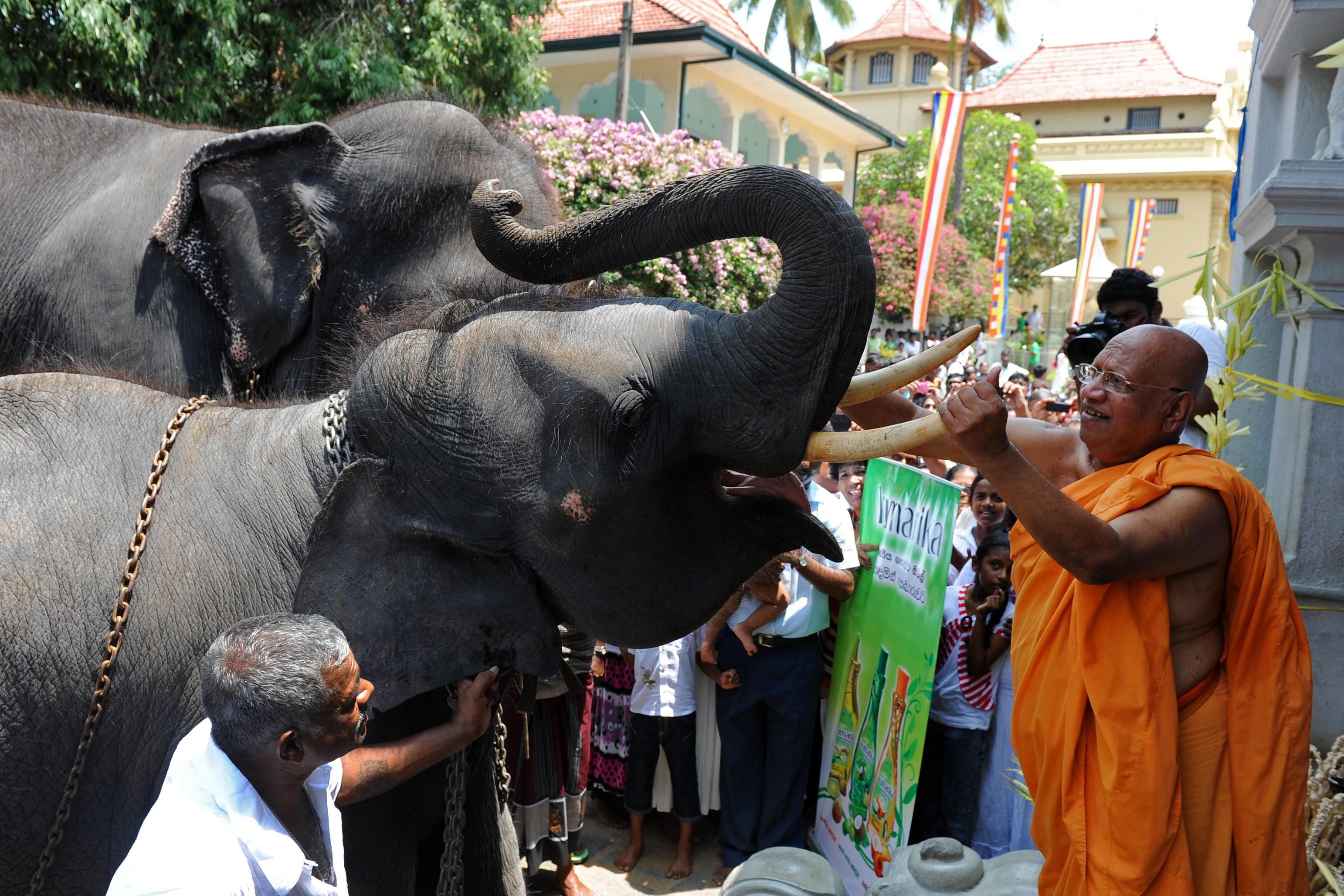A Sri Lankan Buddhist monk anoints a temple elephant