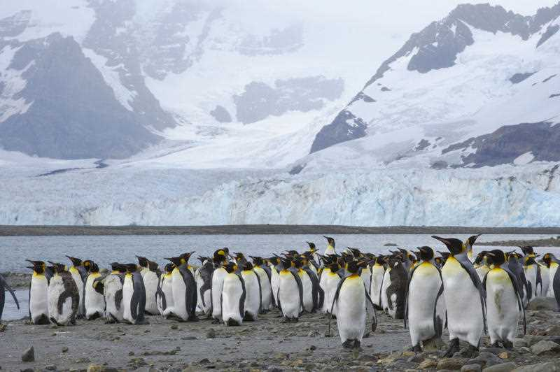Largest king penguin colony shrinks 90% in 30 years