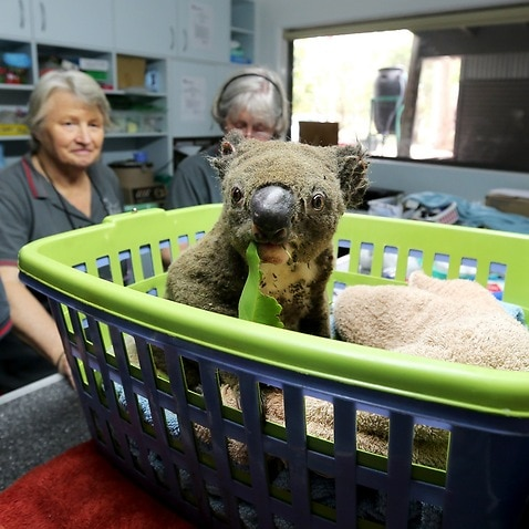 Paul the koala at the Port Macquarie Koala Hospital, which has received more than $3.7 million in GoFundMe donations