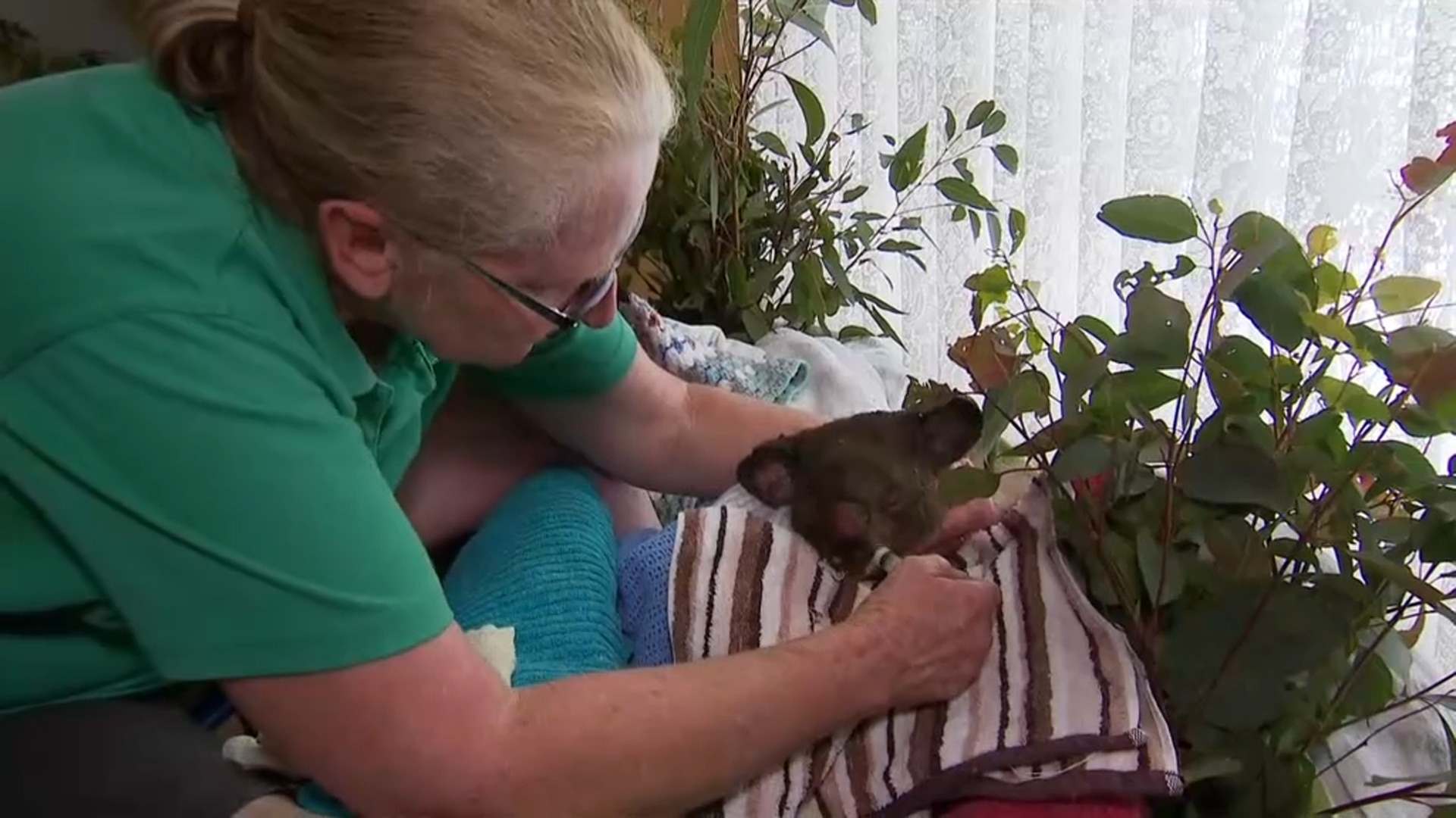 Christeen McLeod cares for an injured koala in her loungeroom.