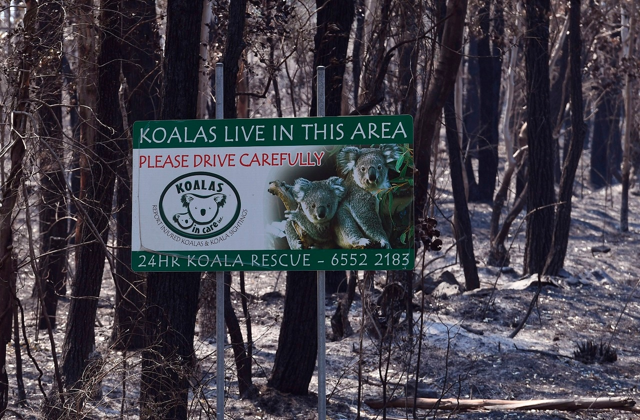 A sign, indicating koalas live in the area, stands in a burnt out forest near the town of Taree.