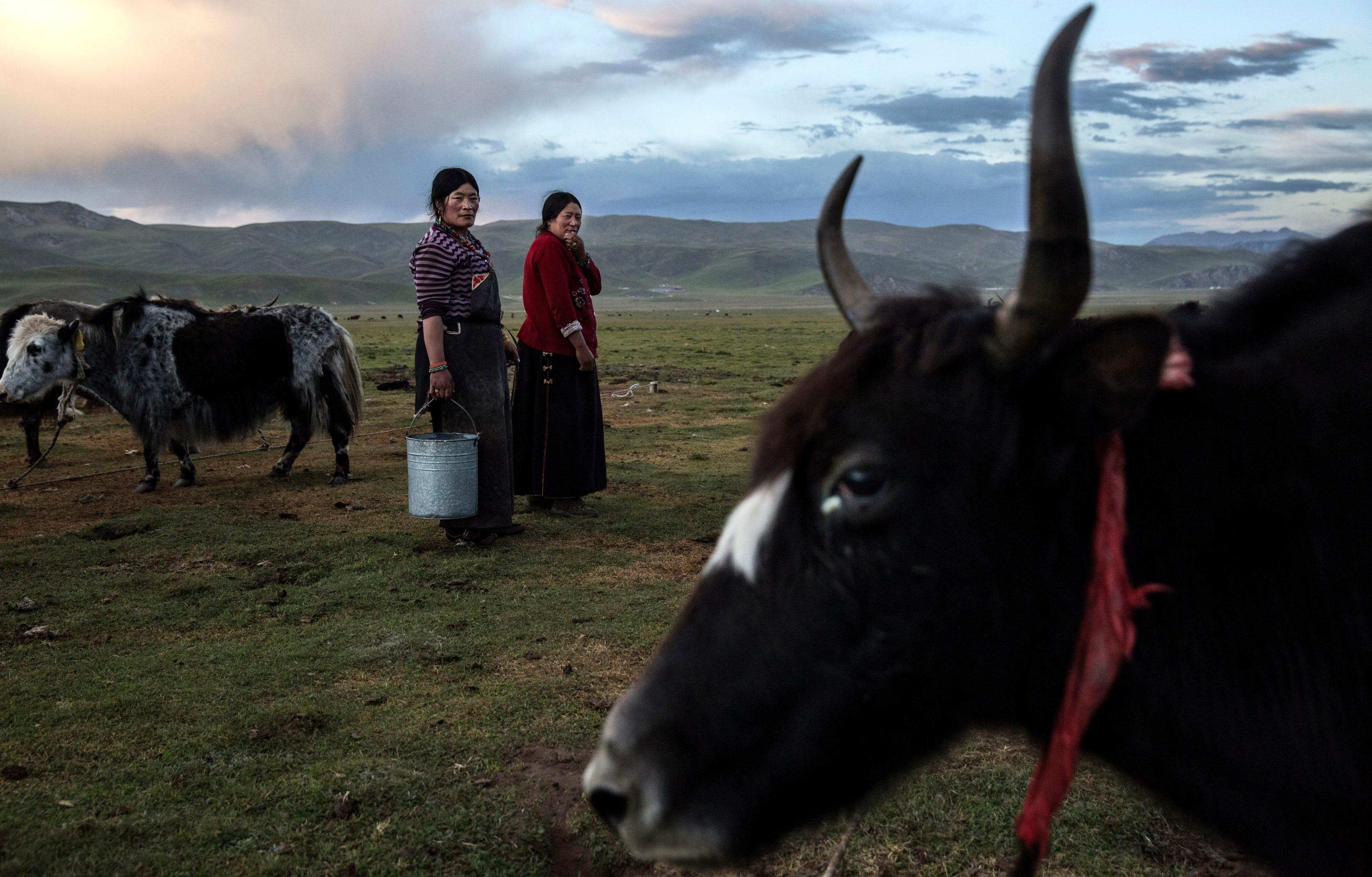 Nomadic ethnic Tibetan women amongst their prized native animal, Yak