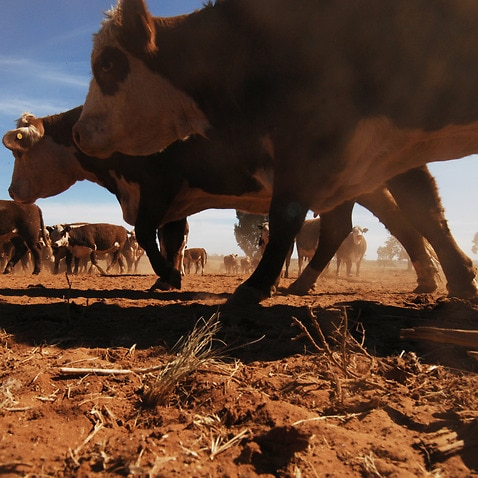 Cattle, climate change, Condobolin, drought