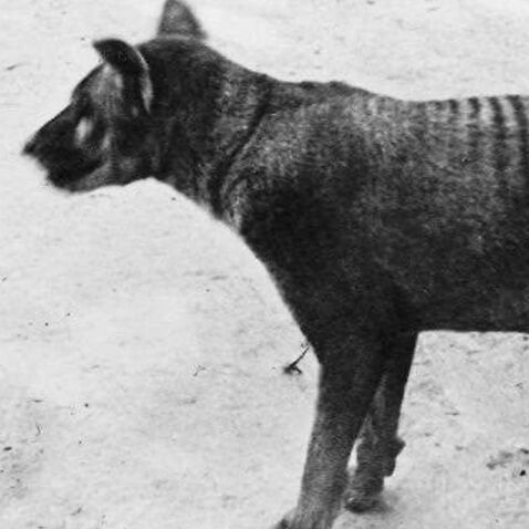 The last known thylacine, or Tasmanian Wolf, to survive in captivity.