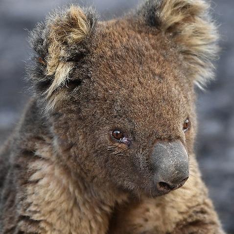 Australian army vets treat injured koalas on Kangaroo Island