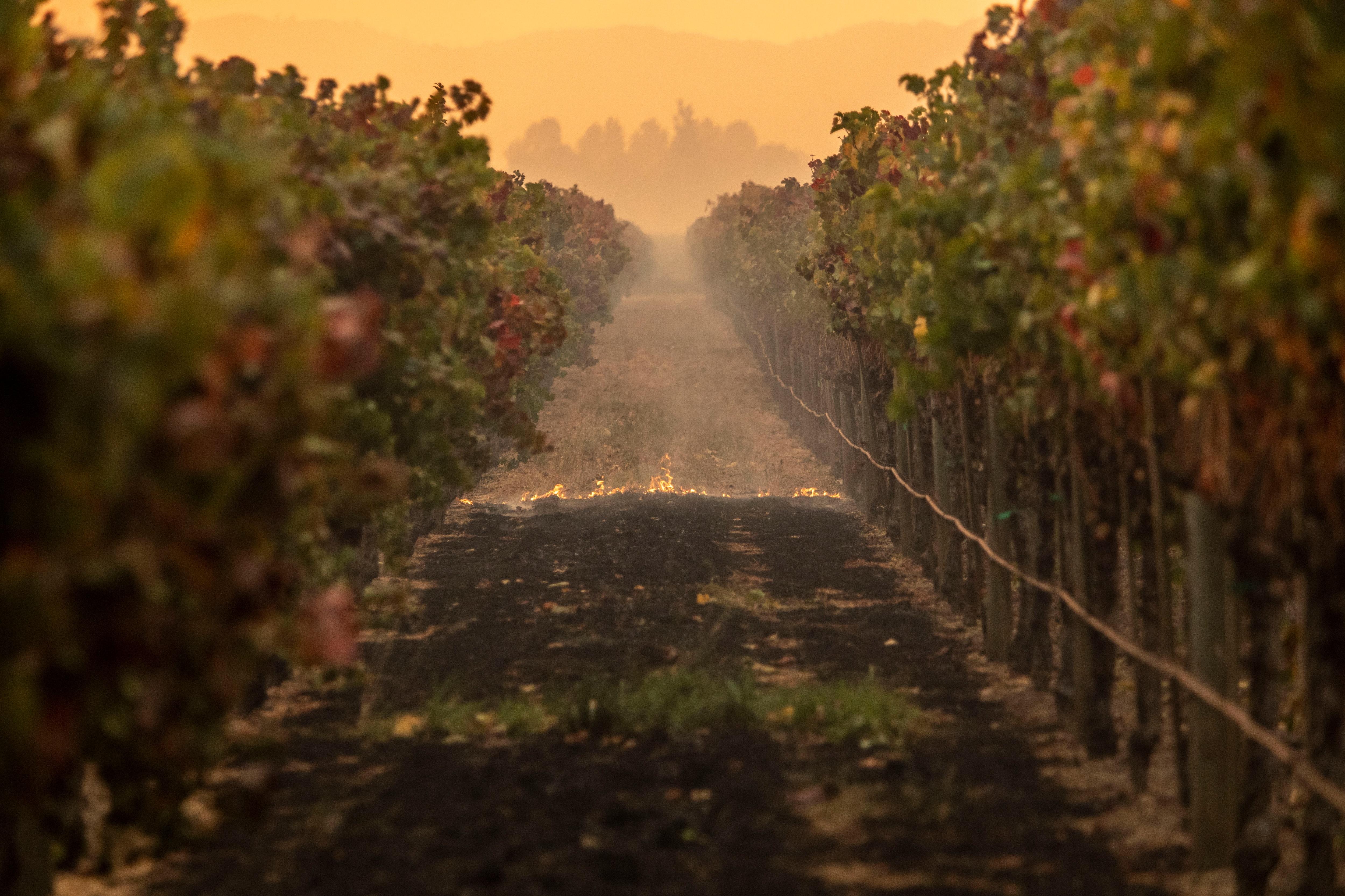 Fire burns gound cover in a vineyard as the Kincade Fire burned through the area near Geyserville, California.