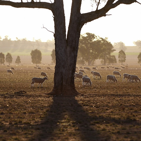 A mob of sheep graze on the dry and dusty fields of a failed crop near Parkes.