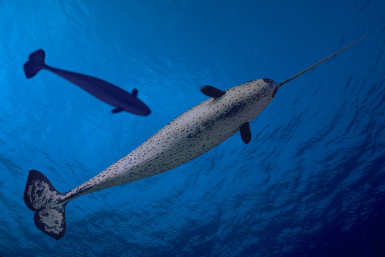 The narwhal is found in the Arctic.